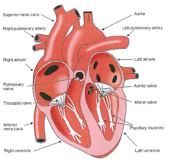 16. Il sistema cardiaco | Centro di Ricerca Enrico Piaggio